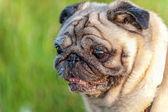 Alte Mops Hund Portrait Nahaufnahme — Stockfoto