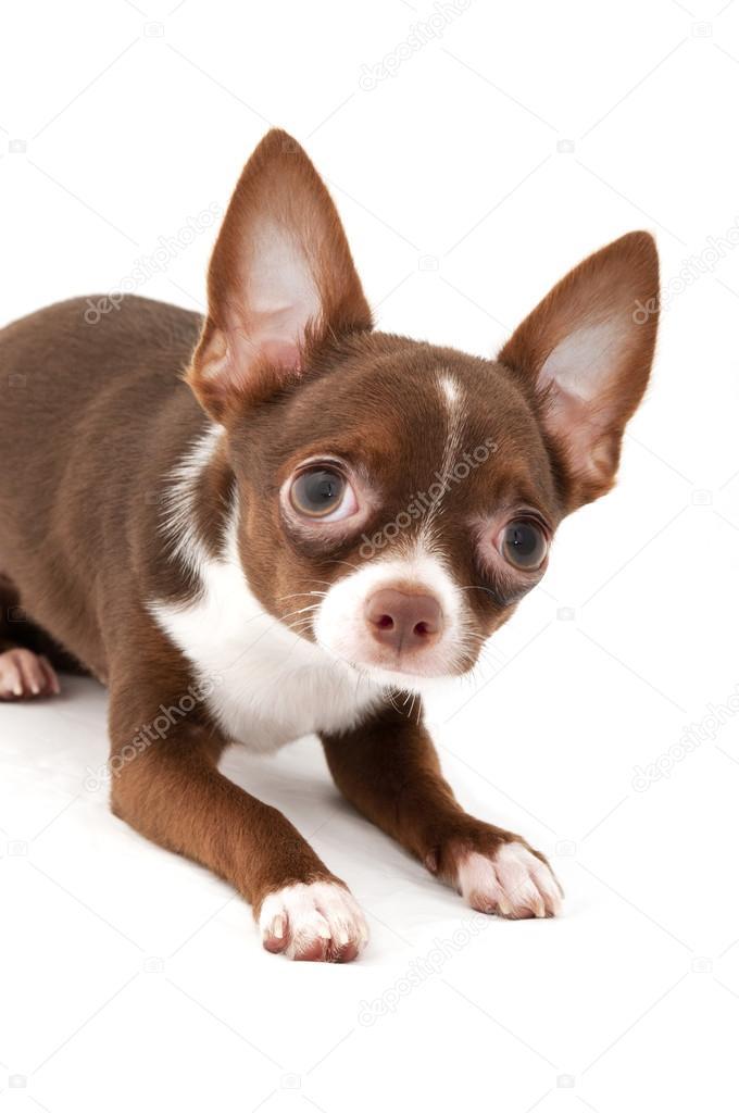 Juguetón marrón chocolate con perro chihuahua blanco ...