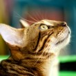 Red tabby cat in profile close-up  — Stock Photo