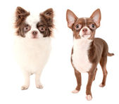 Long haired and smooth coat chocolate with white two chihuahua dogs — Stock Photo