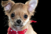 Cute chihuahua puppy with red bandanna portrait close-up — Stock Photo