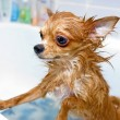 Funny wet chihuahua dog — Stock Photo