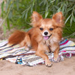 Chihuahua dog relaxing on beach — Stock Photo