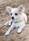 Chihuahua puppy with green collar on beach sand — Stock Photo