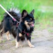 Long-haired tricolor Chihuahua dog  — Photo
