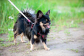 Long-haired tricolor Chihuahua dog — Stock Photo