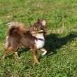 Bright chocolate chihuahua playing with stick — Stock Photo