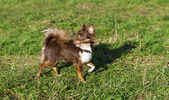 Bright chocolate chihuahua playing with stick — Zdjęcie stockowe