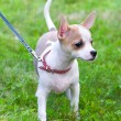 Smooth coated white with red Chihuahua puppy — Stock Photo
