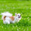 Cheerful chihuahua dog  on meadow  — Stock Photo