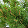 Stock Photo: Branches of fir tree close-up