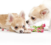 Love story, couple of chihuahua puppies with roses — Stock Photo