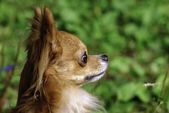 Red chihuahua dog head side view close-up — Stock Photo