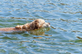 Golden Retriever dog swiming in water — Stock Photo