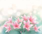 Plumeria rubra Flower on bokeh background — Stock Photo