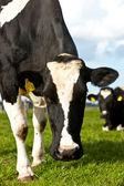 Holstein cow — Stock Photo