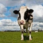 Постер, плакат: Holstein cow