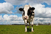 Holstein cow — Stockfoto