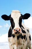 Cow in a grassland in northern of Germany — Stock Photo