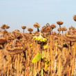 Stock Photo: Dry and ill sunflowers after long drought period