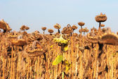 Dry and ill sunflowers after a long drought period — Stock Photo