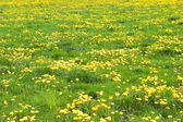 Yellow flowers in green grass — Stock Photo