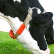 Постер, плакат: Holstein cow grazing in a grassland
