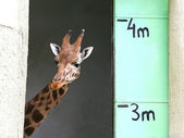 Giraffe with meter scale — Stock Photo