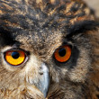 Spotted Eagle-owl - Bubo bubo  — Stock Photo