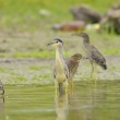 Black-crowned Night Heron (Nycticorax nycticorax) — Stock Photo