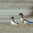 Common Shelduck - tadorna tadorna — Stock Photo #33923423