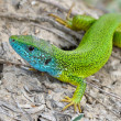 Male of green lizard (Lacerta viridis) — Stock Photo