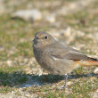 Black Redstart - Phoenicurus ochruros  — Stock Photo
