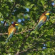 European bee-eater - Merops Apiaster — Stock Photo
