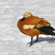 Ruddy shelduck (Tadorna Ferruginea) — Stock Photo #33924975