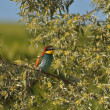 Europebee-eater - Merops Apiaster — Stock Photo #33927923