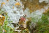 Linnet male (Carduelis cannabina) — Stock Photo