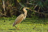 Purple heron — Stock Photo