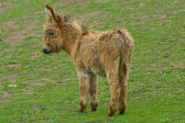 Young Donkey (Equus africanus asinus) — Stock Photo