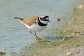 Little Ringed Plover (Charadrius dubius) — Стоковое фото