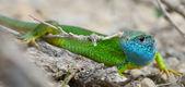 Male of green lizard (Lacerta viridis) — Stock Photo