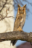 Long-eared Owl in a tree (Asio Otus) — Stock Photo