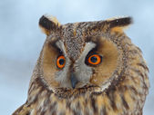 Long-eared Owl (Asio Otus) — Stock Photo