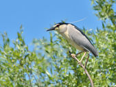 Black crowned night heron in the nature — Stock Photo