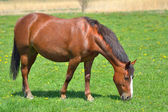 Beautiful horse on the green grass pasture — Stock Photo