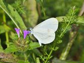 Beautiful white butterfly ( Leptidea sinapis) — Stock Photo