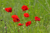 Red poppies on field in spring — ストック写真