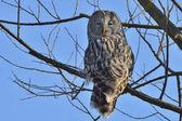 Ural owl in natural habitat (strix uralensis) — Stock Photo