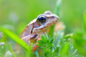 The Common Frog — Stock Photo