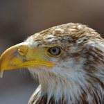 The Bald Eagle (Haliaeetus leucocephalus) portrait — Stock Photo